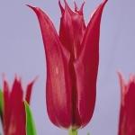 Тюльпаны Юрий Долгорукий
