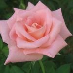 Розы Престиж де Лион