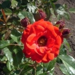 Розы Алпин