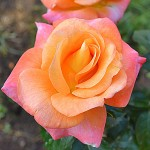 Розы Джем и Иерусалим