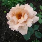 Розы Джулиас Роуз