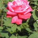 Розы Вин Роуз
