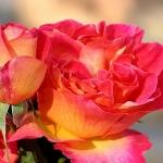 Розы Ла Пассионата