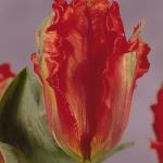 Тюльпаны Гиант Пэррот