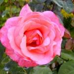 Розы Кимоно