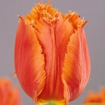 Тюльпаны Норанда