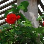 Розы Искра