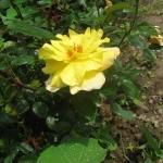 Розы Бруоцселла