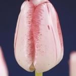 Тюльпаны Монгомери