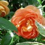 Розы Пат Остин