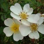 Розы Уайт Флюретте