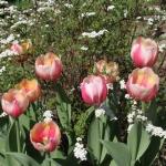 Тюльпаны Рашн Принцесс