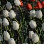 Тюльпаны Холланд Сноу