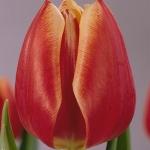 Тюльпаны Флауэр Принцесс