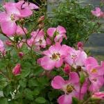 Розы Кумбая