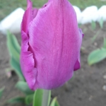 Тюльпаны Перпл Принц