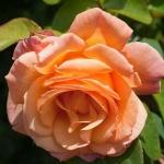 Розы Делла Балфоур