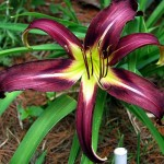 Daylily Black Arrowhead