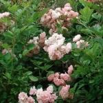 Розы Сувенир де Адолфе Турк