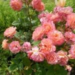 Розы Августа Луиза