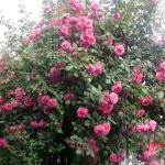 Розы Парад