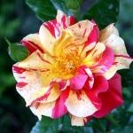 Розы Жаклин Фарвакс