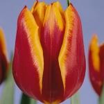 Тюльпаны Абра Элит