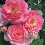 Розы Комтесс де Провенс