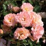 Розы Эприкот Дрифт