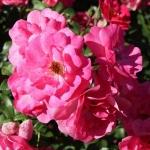 Розы Бэд Воришофен