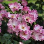 Розы Рози Кушион