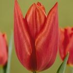 Тюльпаны Гандерамо
