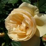Розы Ла Вениссиан