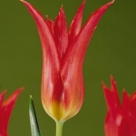 Тюльпаны Вирили Ред
