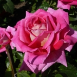 Розы Шокинг Версилия