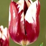 Тюльпаны Африкан Квин