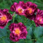 Розы Принцессе Сибилла де Люксембург