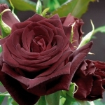 Розы Перл Ноир