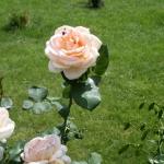 Розы Поль Рикар