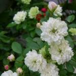 Розы Грин Айс