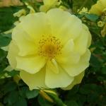 Розы Лаймголд