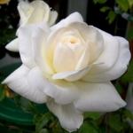 Розы Вайсе Волке