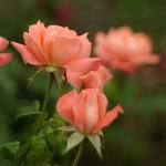 Розы Хамбургер Дирн