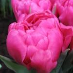Тюльпаны Диор