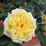 Розы Йеллоу Баттон