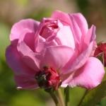 Розы Мэри