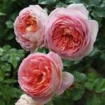 Розы Инглиш Гарден