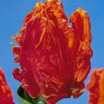 Тюльпаны Монарх Пэррот