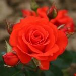 Розы Чорус