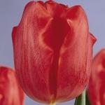 Тюльпаны Эсмеральда